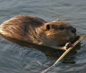iStock.beaver